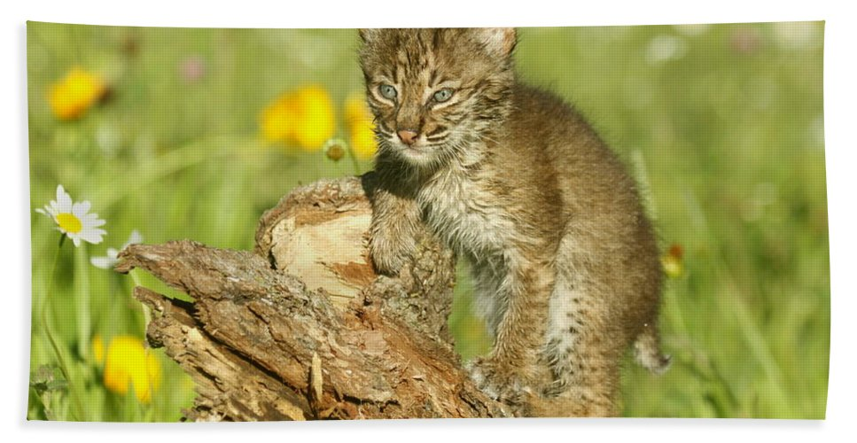 Bobcat Hand Towel featuring the photograph Baby Bobcat At Play by Myrna Bradshaw