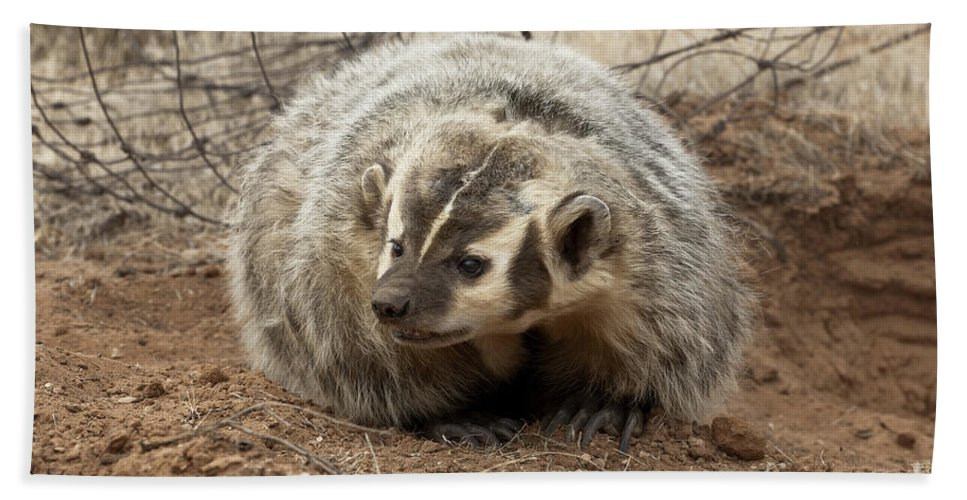 Badger Bath Sheet featuring the photograph Bad Attitude by Sandra Bronstein