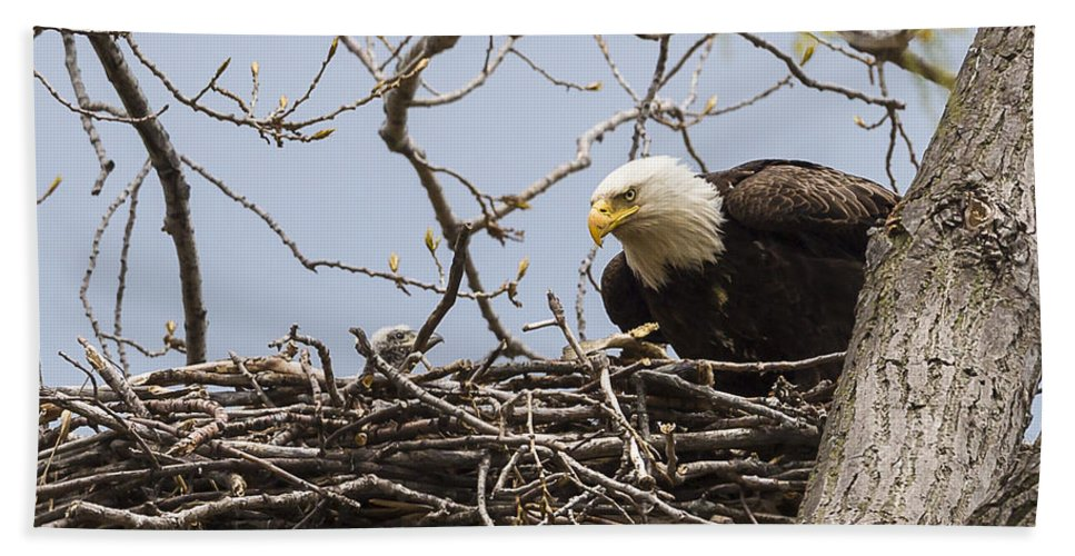 Adult Bath Sheet featuring the photograph Bald Eagle And Eaglet by Jack R Perry