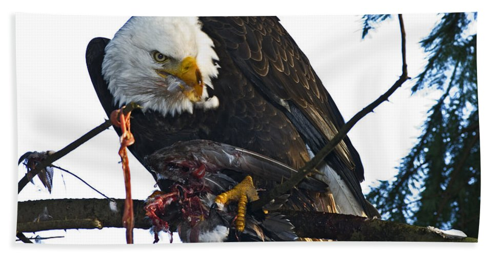 Bald Eagle Bath Sheet featuring the photograph Bald Eagle Eating It's Prey by Rob Mclean