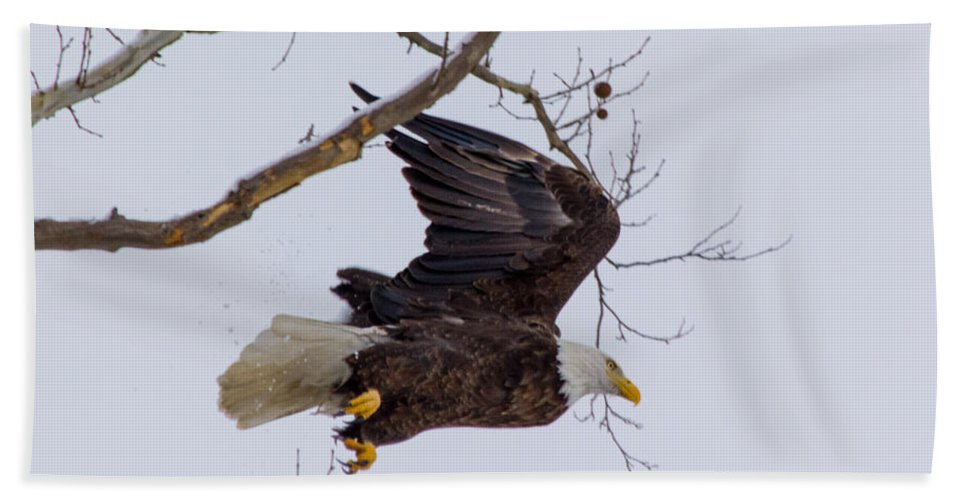 Bald Eagle Hand Towel featuring the photograph Bald Eagle In Flight by Michael J Samuels