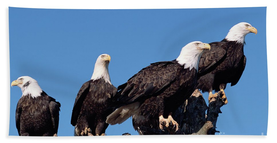 00343935 Hand Towel featuring the photograph Bald Eagles Quartet by Yva Momatiuk and John Eastcott