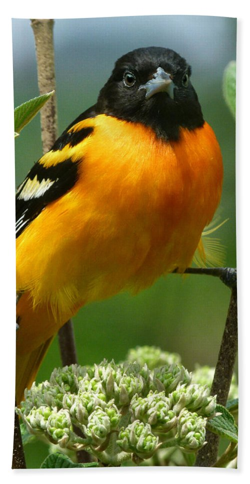 Oriole Hand Towel featuring the photograph Baltimore Oriole by Bruce Morrison