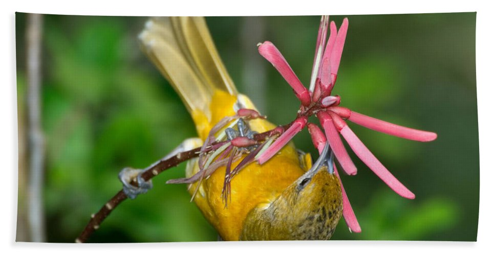Animal Hand Towel featuring the photograph Baltimore Oriole Feeding On Coral Bean by Anthony Mercieca
