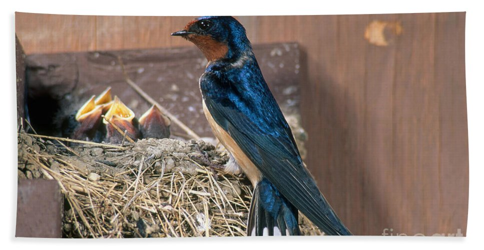Barn Swallow Hand Towel featuring the photograph Barn Swallow At Nest by Anthony Mercieca