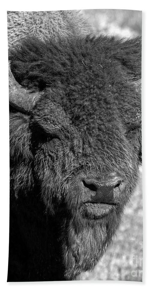 Hayden Valley Hand Towel featuring the photograph Battle Worn Bull by James Anderson