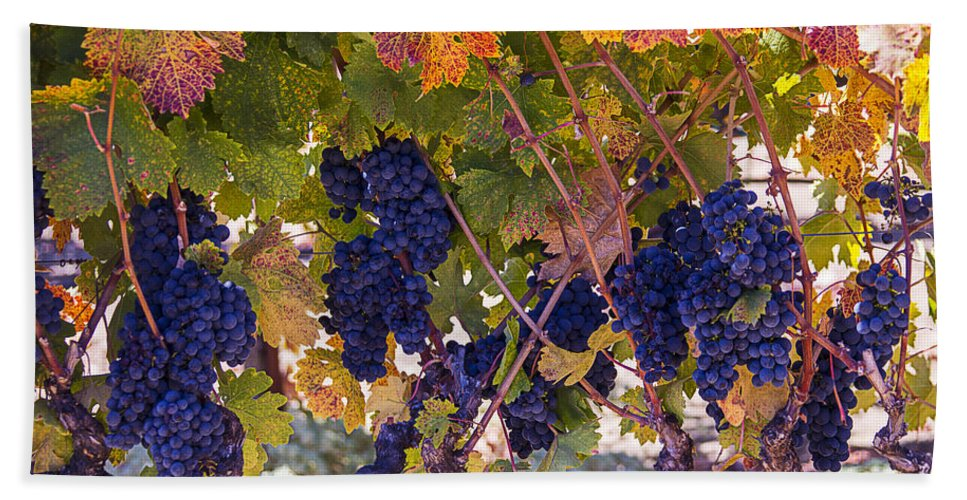 Grapes Bath Sheet featuring the photograph Beautiful Grape Harvest by Garry Gay