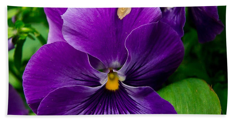 Pansy Bath Sheet featuring the photograph Beautiful Purple Pansies by Eti Reid