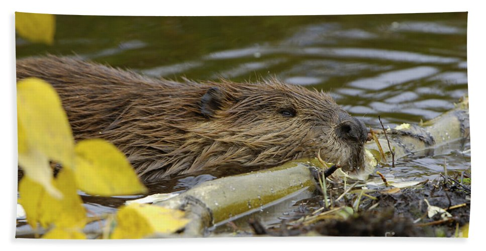 Beaver Hand Towel featuring the photograph Beaver by John Shaw