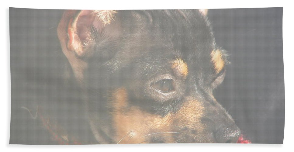 Art For The Wall...patzer Photography.chihuahua Hand Towel featuring the photograph Bella by Greg Patzer