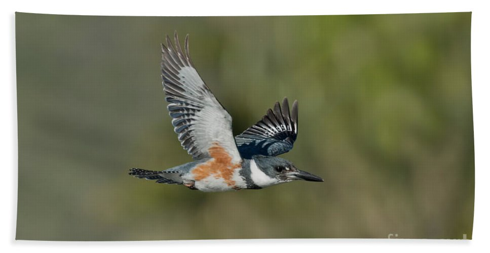 Belted Kingfisher Hand Towel featuring the photograph Belted Kigfisher Female Flying by Anthony Mercieca