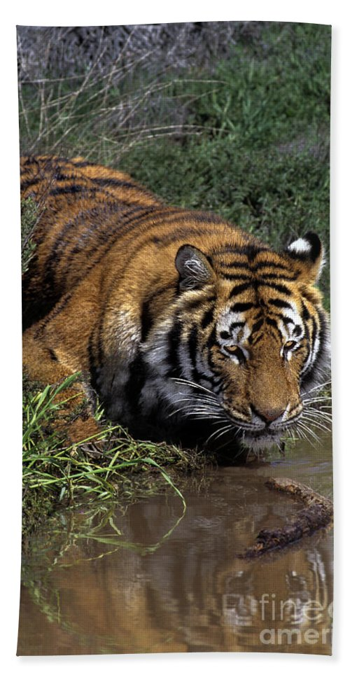 Bengal Tiger Hand Towel featuring the photograph Bengal Tiger Drinking At Pond Endangered Species Wildlife Rescue by Dave Welling