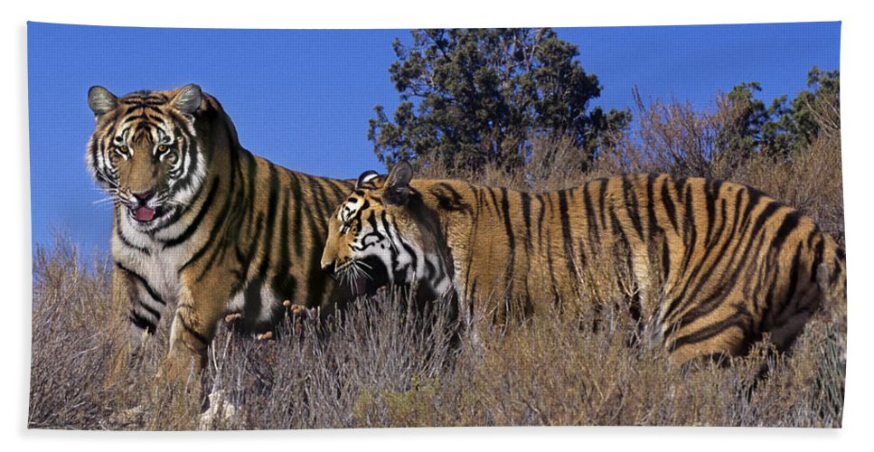Bengal Tigers Hand Towel featuring the photograph Bengal Tigers On A Grassy Hillside Endangered Species Wildlife Rescue by Dave Welling