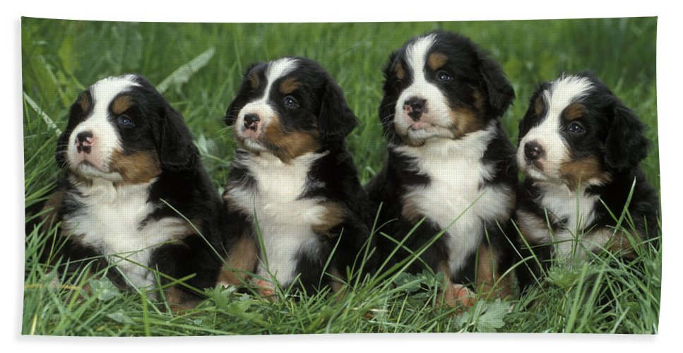 Dogs Bath Sheet featuring the photograph Bernese Mountain Puppies by Rolf Kopfle