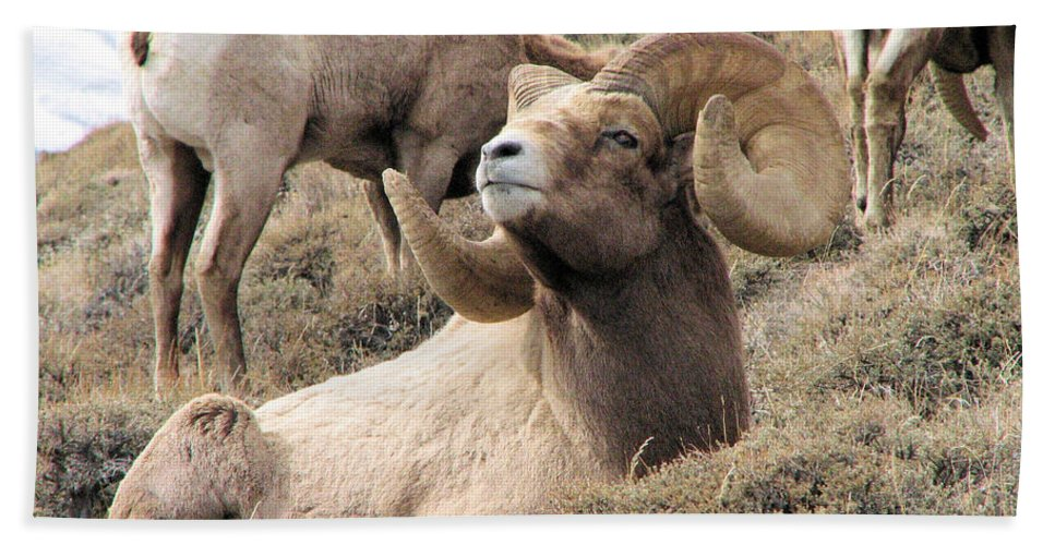 Big Hand Towel featuring the photograph Big Bighorn Ram by Darcy Tate