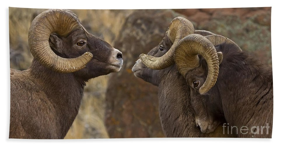 Ovis Canadensis Bath Sheet featuring the photograph Big Horn Rams  #4989 - Signed by J L Woody Wooden