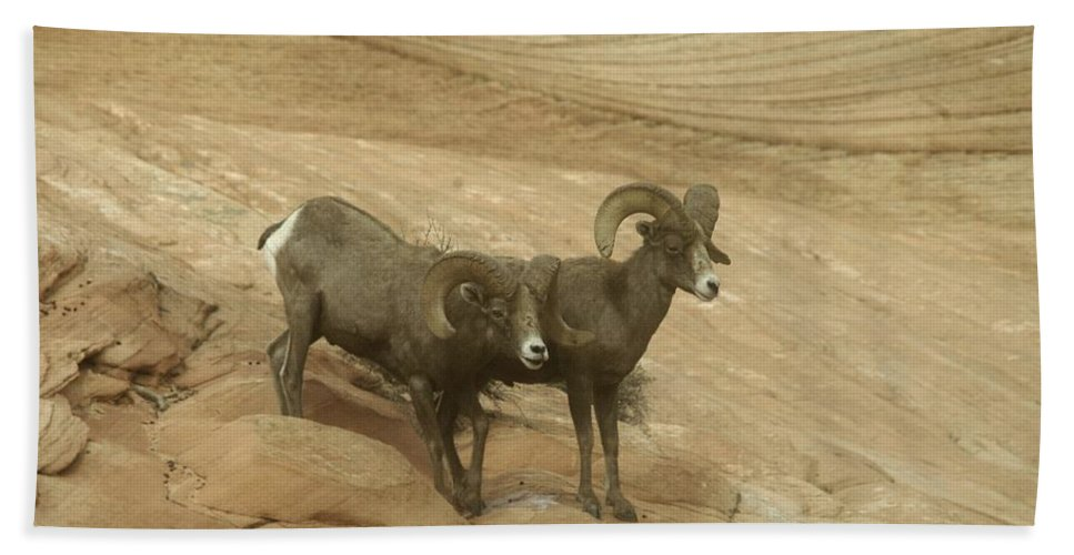 Bighorn Sheep Hand Towel featuring the photograph Big Horn Sheep by Jeff Swan