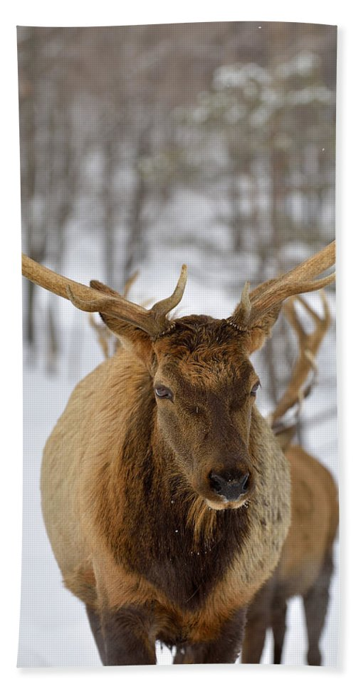 Elk Hand Towel featuring the photograph Big Rack by Joshua McCullough