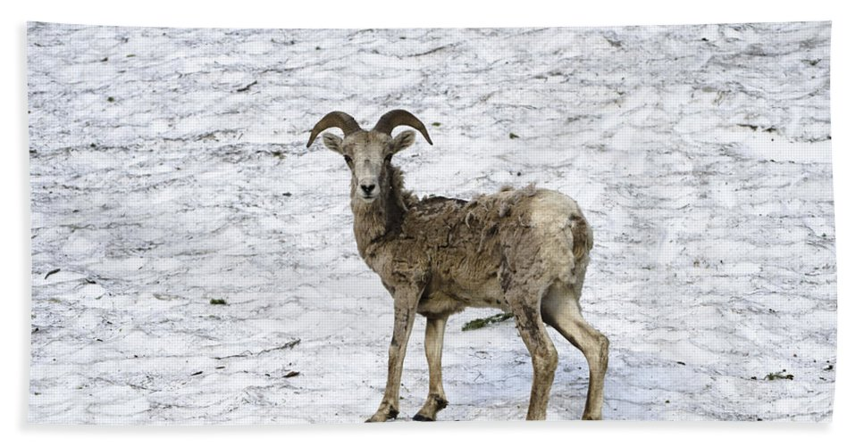 Big Horned Sheep Bath Sheet featuring the photograph Bighorn Sheep by Crystal Wightman