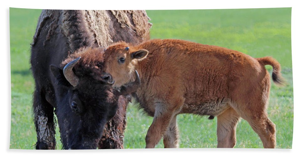 Bison Bath Sheet featuring the photograph Bison With Young Calf by Bill Gabbert