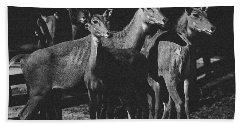 Antelopes Bath Sheet featuring the photograph Black And White Antelopes by Pati Photography