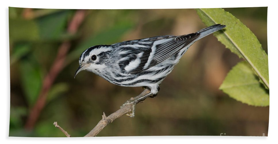 Fauna Hand Towel featuring the photograph Black And White Warbler by Anthony Mercieca