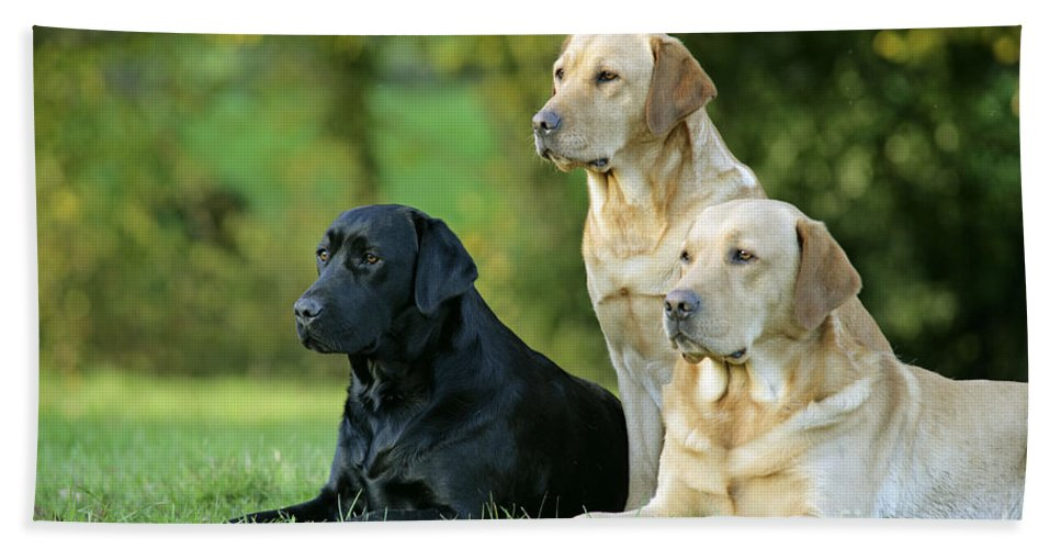 Dogs Bath Sheet featuring the photograph Black And Yellow Labrador Retrievers by John Daniels