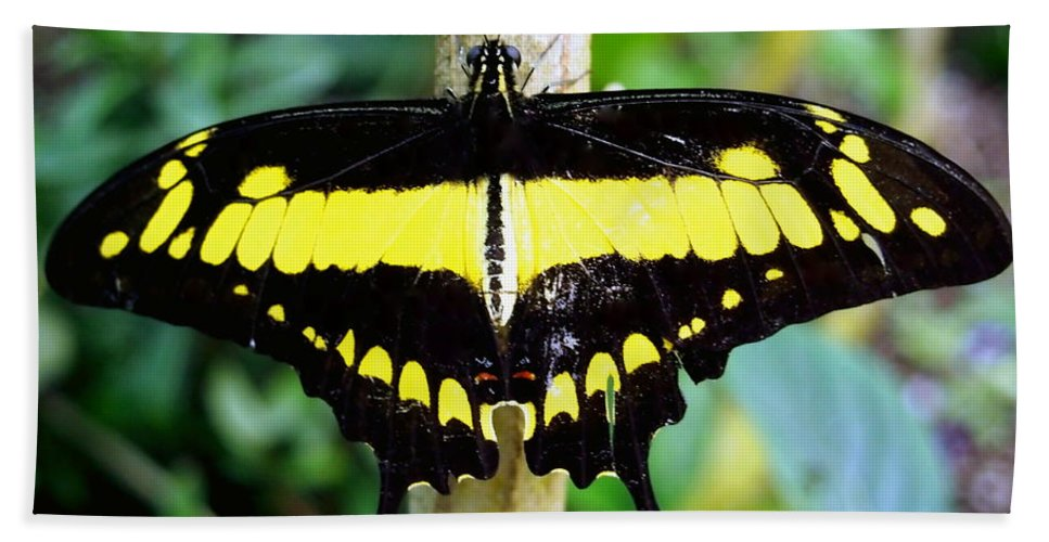 Nature Bath Sheet featuring the photograph Black And Yellow Swallowtail Butterfly by Amy McDaniel