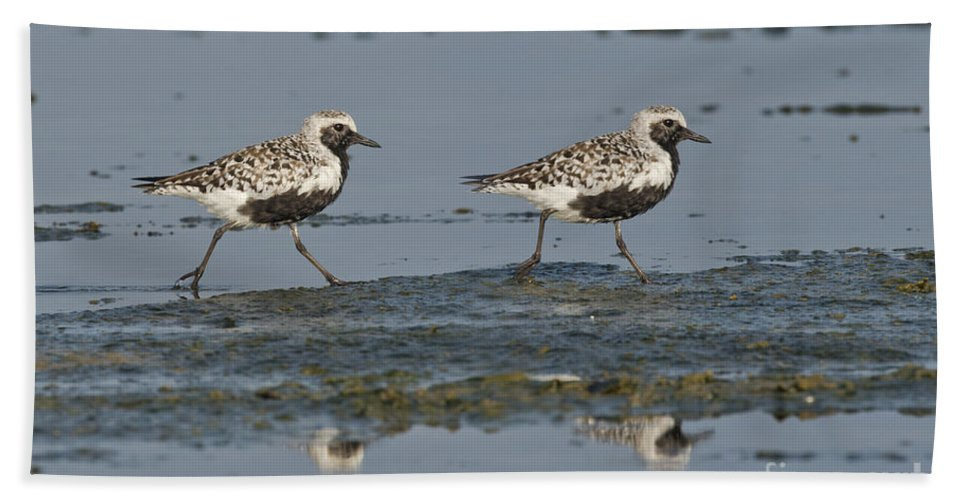 Black-bellied Plover Hand Towel featuring the photograph Black-bellied Plovers by Anthony Mercieca
