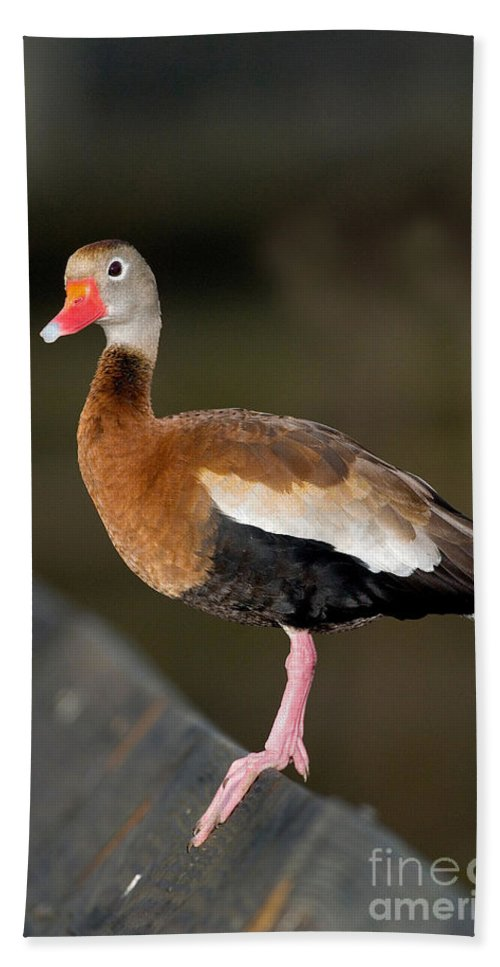 Fauna Hand Towel featuring the photograph Black-bellied Whistling Duck by Anthony Mercieca