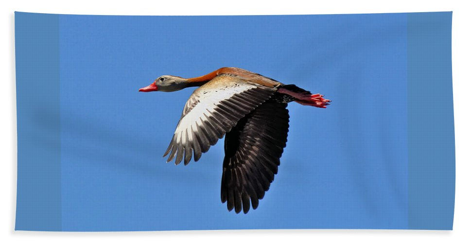 Black-bellied Hand Towel featuring the photograph Black-bellied Whistling-duck In Flight by Savannah Gibbs