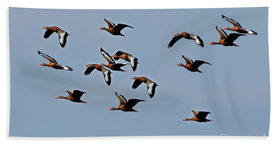 Animal Hand Towel featuring the photograph Black-bellied Whistling Ducks In Flight by Anthony Mercieca