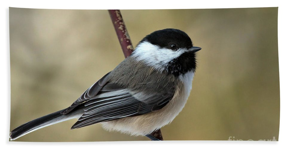 Chickadee Hand Towel featuring the photograph Black Capped Chickadee by Rick Mousseau