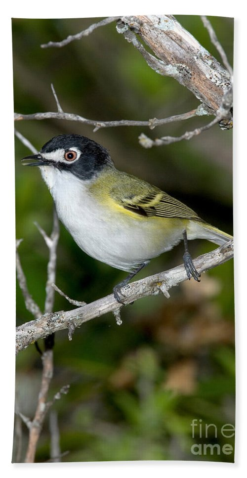 Vireo Atricapilla Hand Towel featuring the photograph Black-capped Vireo by Anthony Mercieca
