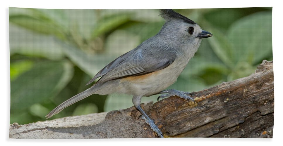 Black-crested Titmouse Hand Towel featuring the photograph Black-crested Titmouse by Anthony Mercieca