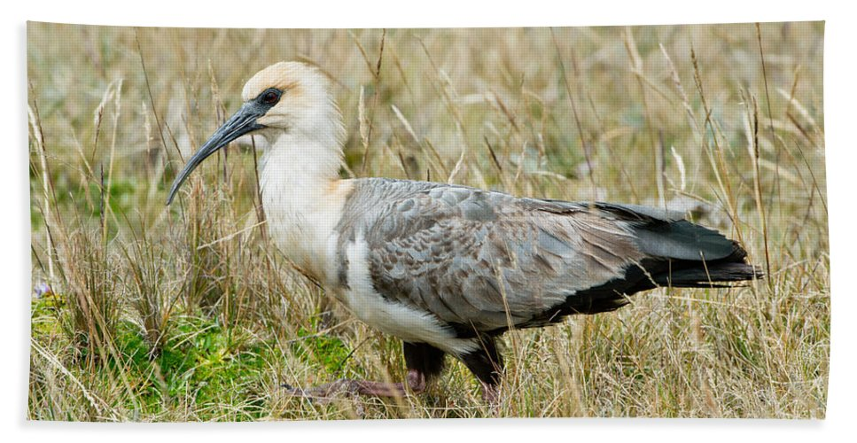 Black-faced Ibis Hand Towel featuring the photograph Black-faced Ibis by Anthony Mercieca