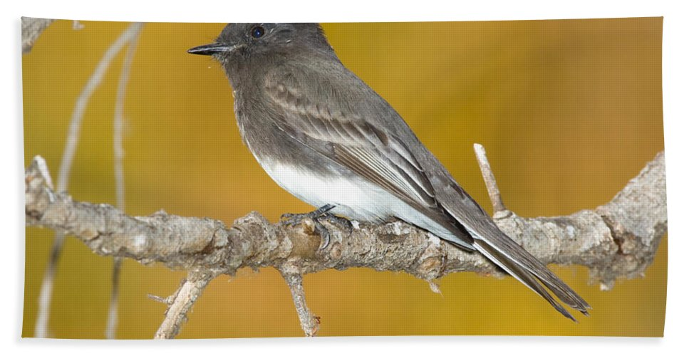 Fauna Hand Towel featuring the photograph Black Phoebe Sayornis Nigricans by Anthony Mercieca
