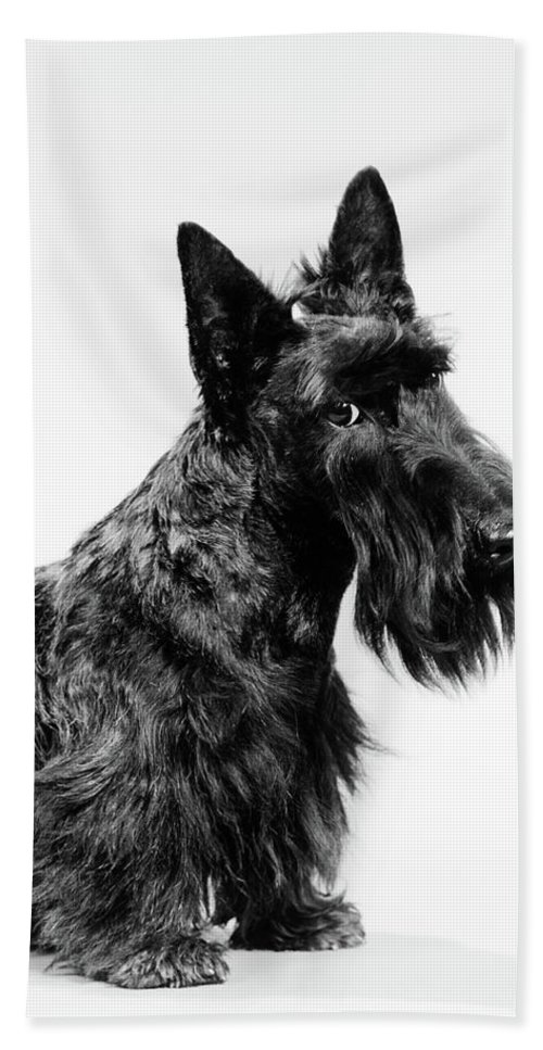 Photography Bath Towel featuring the photograph Black Scottie Scottish Terrier Dog by Vintage Images
