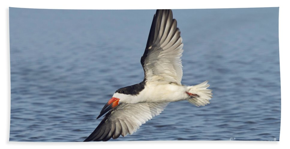 Black Skimmer Hand Towel featuring the photograph Black Skimmer by Anthony Mercieca