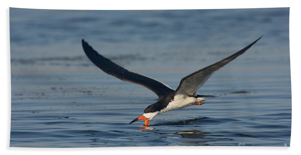 Fauna Hand Towel featuring the photograph Black Skimmer Rynchops Niger Skimming by Anthony Mercieca