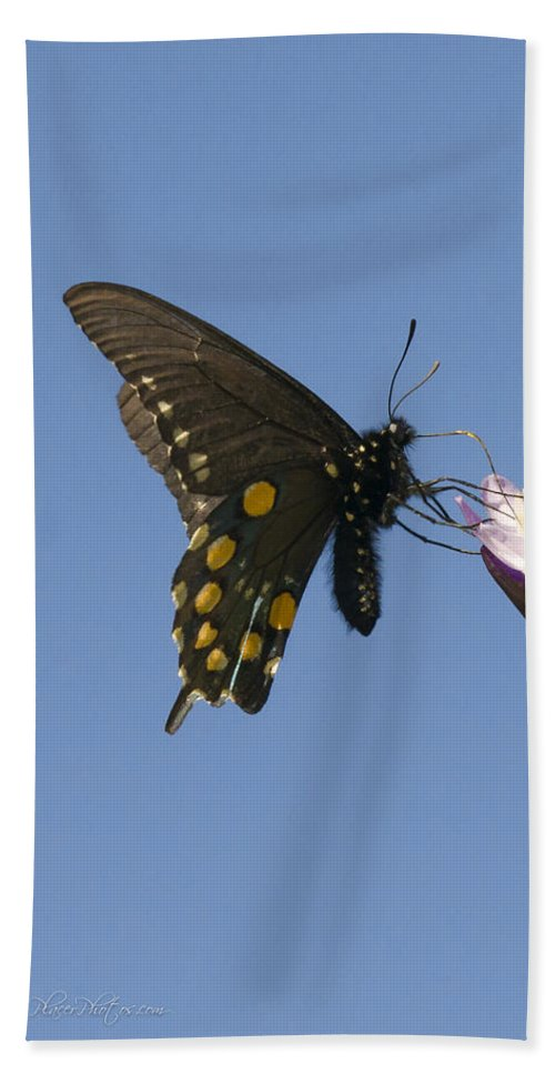 Pipevine Swallowtail Bath Sheet featuring the photograph Pipevine Swallowtail Butterfly by Jim Thompson