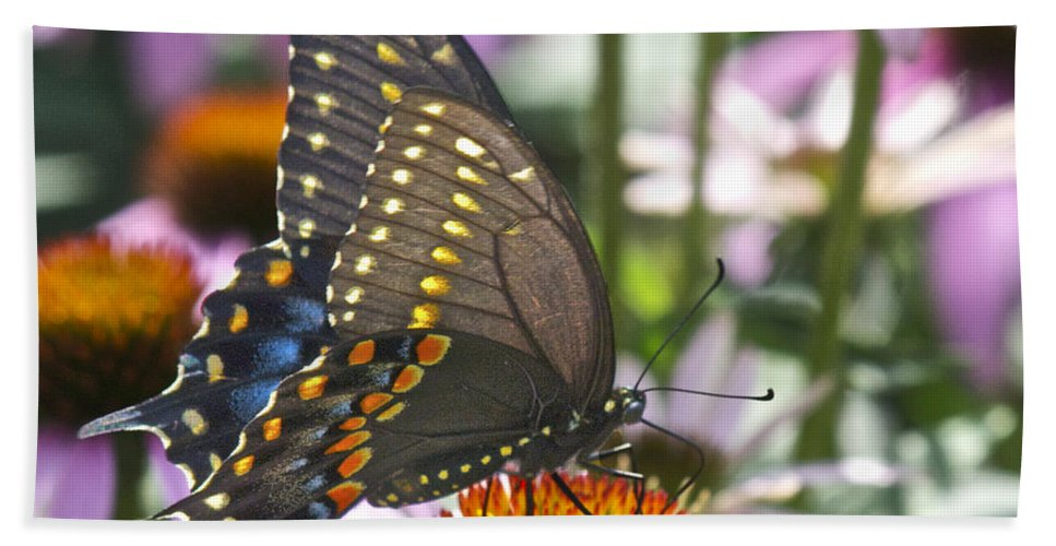 Black Bath Sheet featuring the photograph Black Swallowtail Butterfly by Michael Peychich