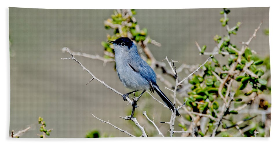 Fauna Hand Towel featuring the photograph Black-tailed Gnatcatcher Calling by Anthony Mercieca