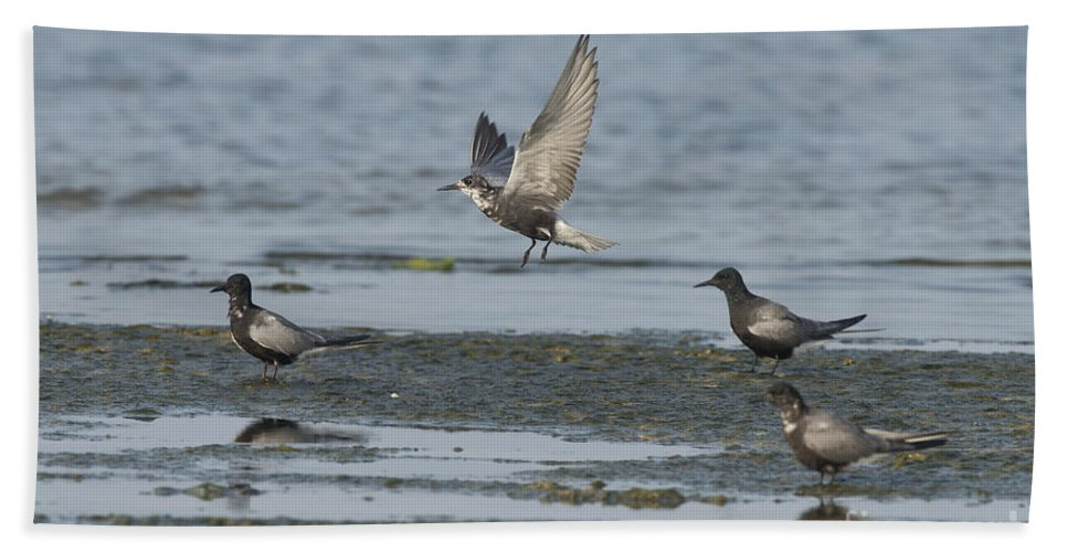 Black Tern Hand Towel featuring the photograph Black Terns by Anthony Mercieca