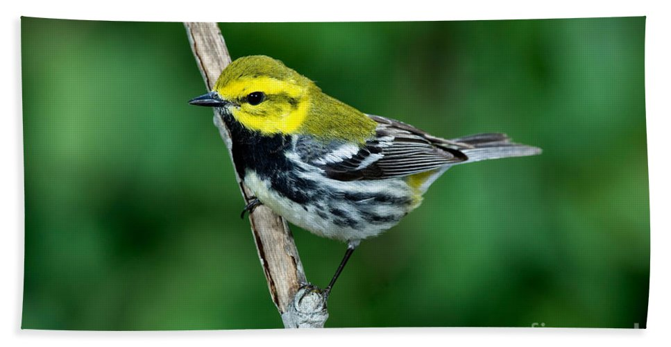 Fauna Hand Towel featuring the photograph Black-throated Green Warbler, Male by Anthony Mercieca