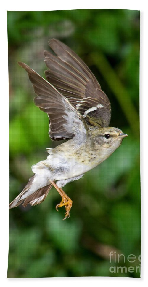 Animal Hand Towel featuring the photograph Blackpoll Warbler by Anthony Mercieca
