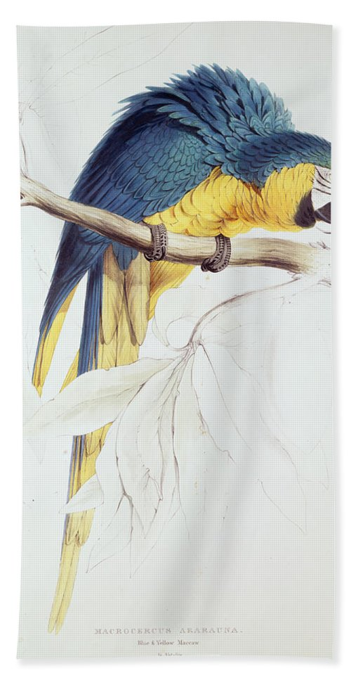 Parrot Bath Sheet featuring the painting Blue And Yellow Macaw by Edward Lear