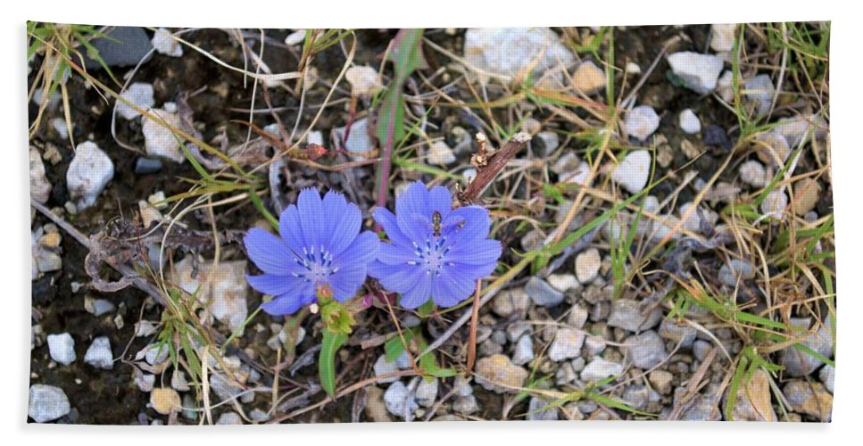 Chicory Bath Sheet featuring the photograph Blue Daisy by Bonfire Photography