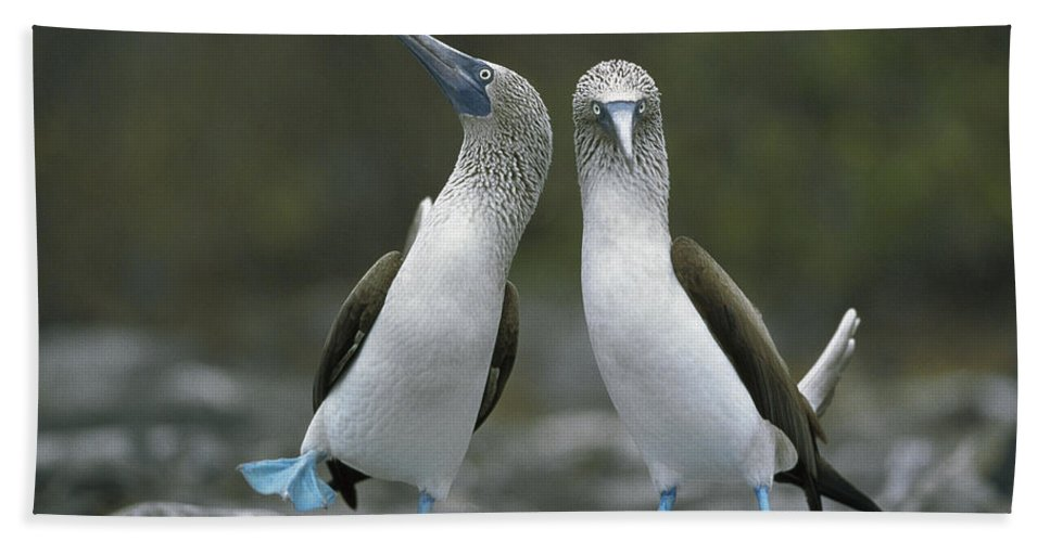 00141144 Bath Towel featuring the photograph Blue Footed Booby Dancing by Tui De Roy