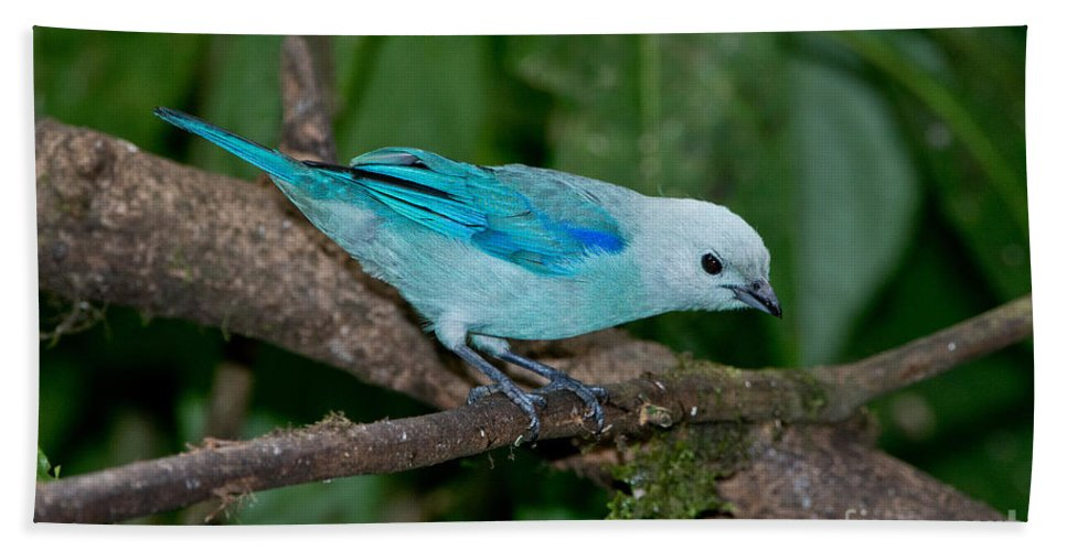 Blue-gray Tanager Hand Towel featuring the photograph Blue-gray Tanager by Anthony Mercieca
